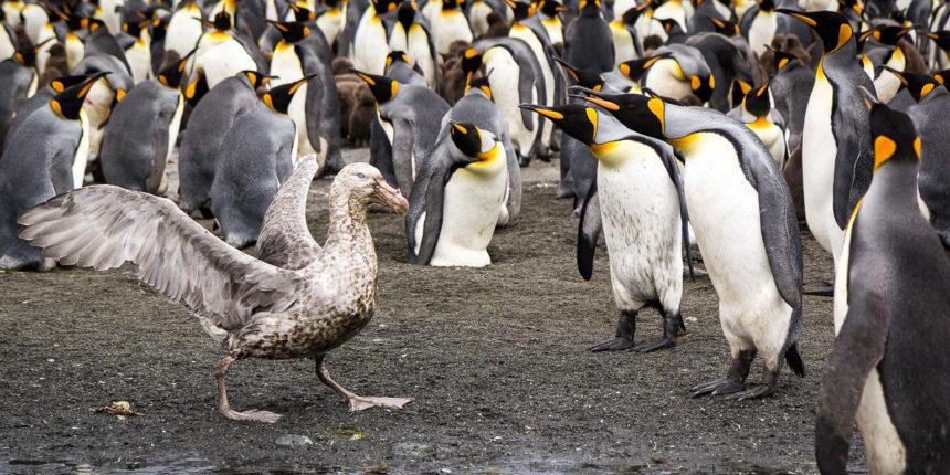Königspinguine / Riesensturmvogel