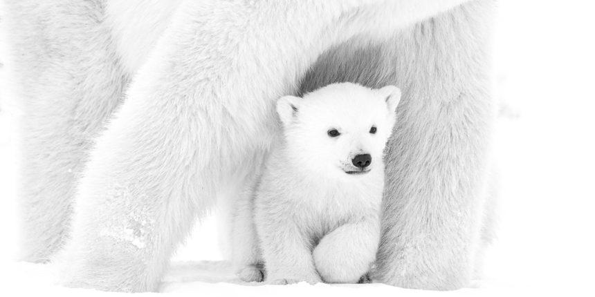 Eisbär Kanada