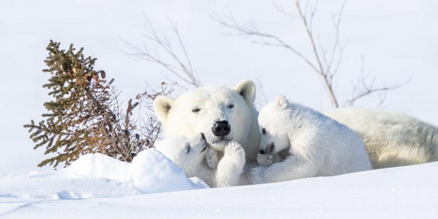 Eisbärenfamilie Kanada